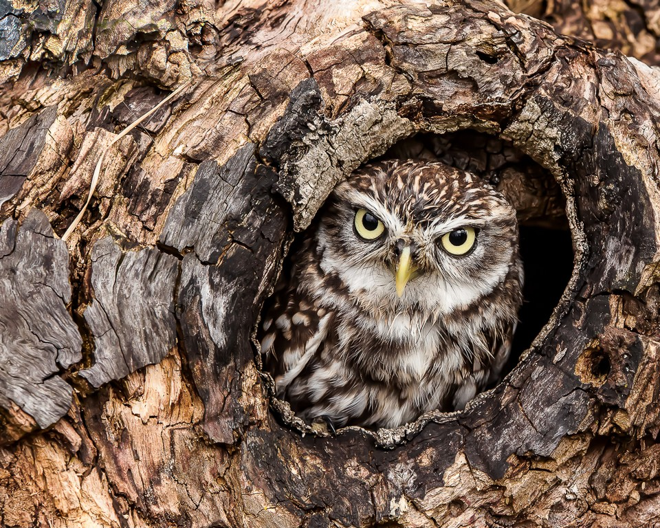 22 Little Owl by Ian Hosker